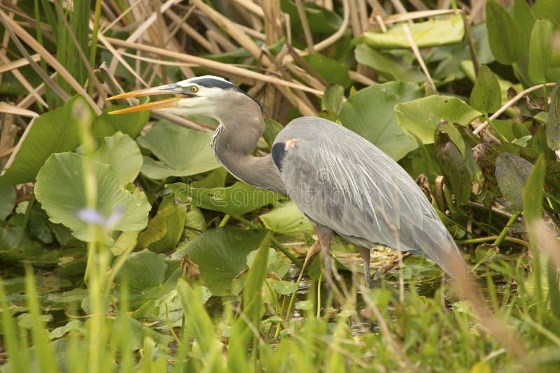 Grande caccia dell'airone blu ad Orlando Wetlands Park immagine stock libera da diritti