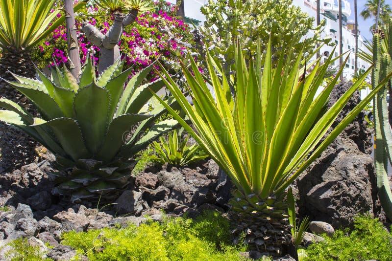 Grande cactii naturalizzato nei letti del flwer lungo la parte anteriore di mare in Playa de Las Americhe in Tenerife fotografia stock libera da diritti