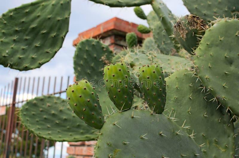 Grande cactus con tre frutti verdi Uno dei simboli della Sicilia Di India di Fichi di opuntia ficus indica Tindari sicily immagine stock libera da diritti