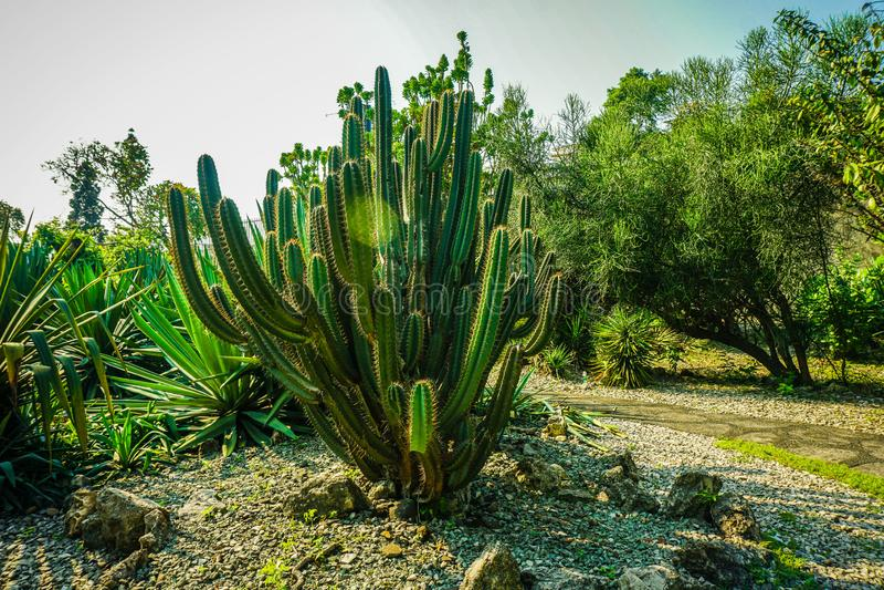 Grande cactus sul mezzo di roccia e della pietra nel centro in bogor Indonesia fotografia stock libera da diritti