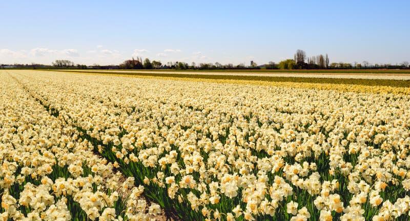 Grande campo com os narcisos amarelos de florescência hearted amarelos fotografia de stock royalty free