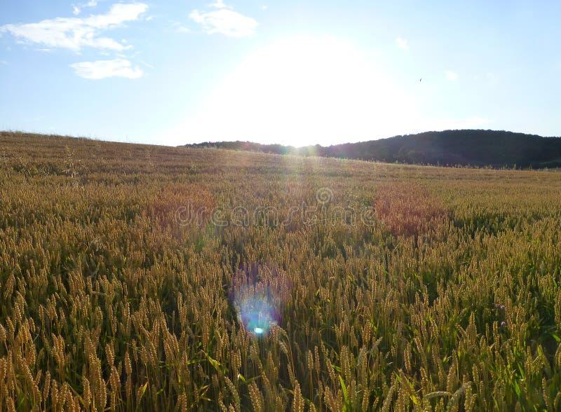 Grande campo completamente do trigo sob um céu azul foto de stock