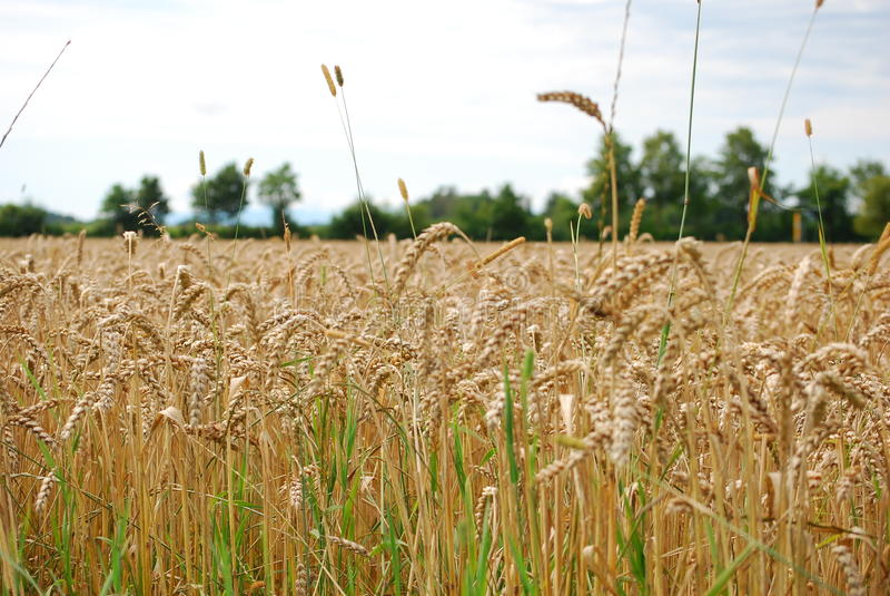 Grande campo de trigo sob o céu azul imagens de stock royalty free