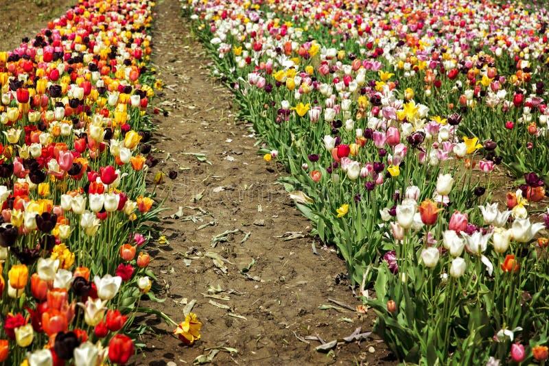 Grande campo del tulipano per il selezionamento fotografia stock libera da diritti