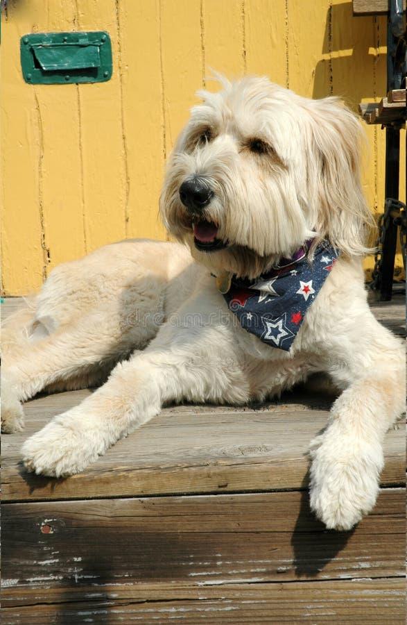 Grande cane bianco dopo taglio di capelli fotografie stock