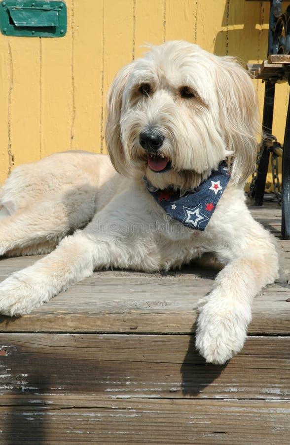 Grande cane bianco dopo taglio di capelli fotografia stock libera da diritti