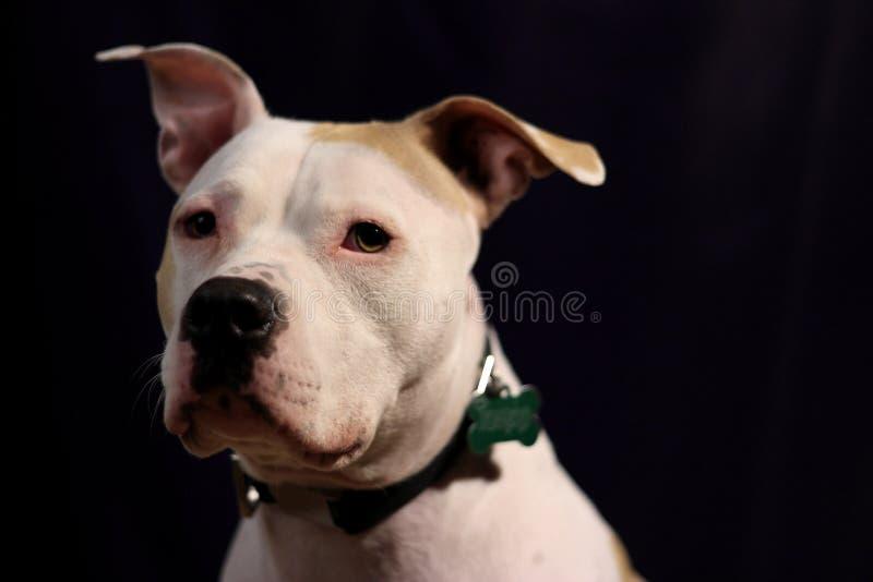Grande cane bianco sopra fondo scuro fotografia stock
