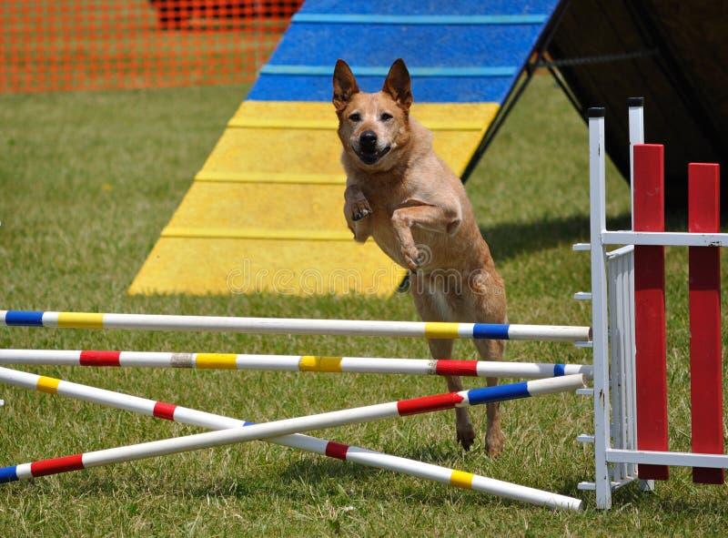 Grande cane che salta sopra un salto alla prova di agilità fotografia stock libera da diritti