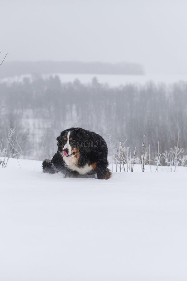Grande cane di Berner Sennenhund sulla passeggiata nel paesaggio di inverno fotografia stock