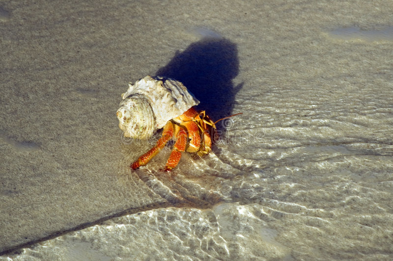 Grande caranguejo de eremita fotos de stock
