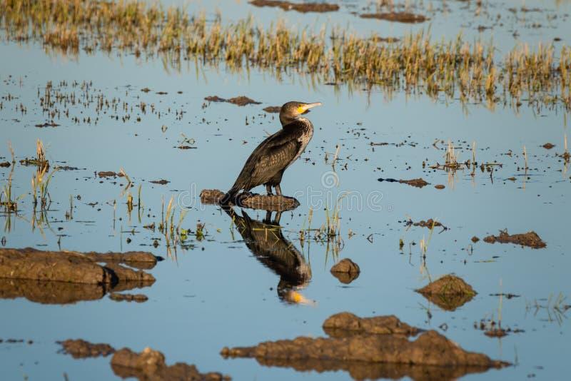 Grande carbo del Phalacrocorax del cormorano in un giacimento del riso nel parco naturale di Albufera, Valencia, Spagna Riflessio immagini stock