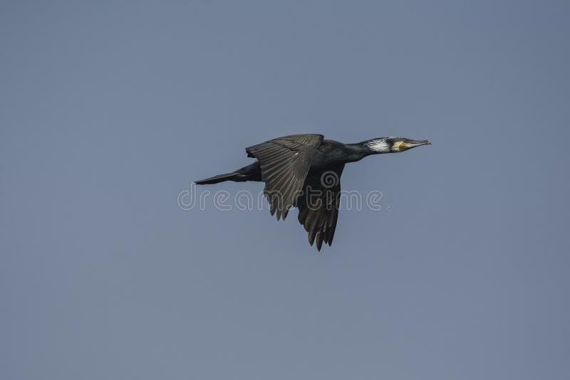 Grande carbo del Phalacrocorax del cormorano in volo fotografia stock libera da diritti