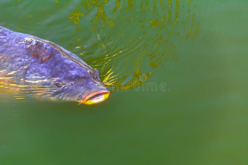 Grande carpa na superfície da lagoa Cyprinus carpio foto de stock royalty free