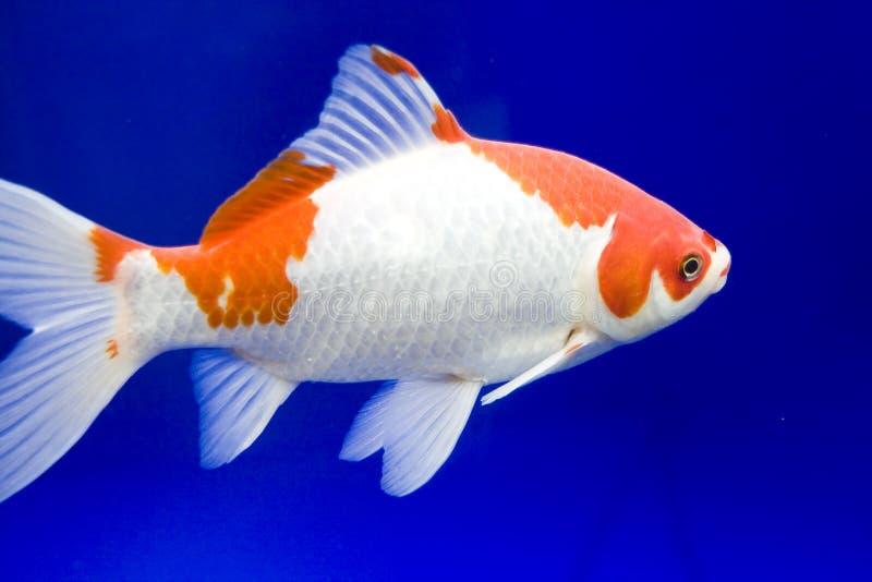Pesci bianchi di koi immagine stock immagine di acquatico for Carpa pesce rosso