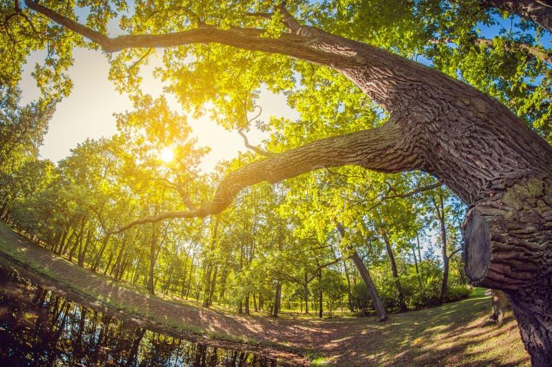 Grande carvalho verde na luz solar Bosque no parque da cidade com lagoa lente de fisheye da perspectiva da distorção fotos de stock