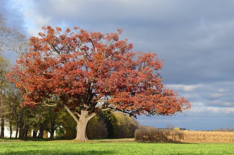 Grande carvalho vermelho velho ao longo de uma movimentação de enrolamento em uma exploração agrícola no outono fotografia de stock royalty free