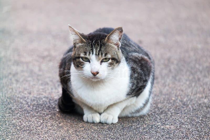 Grande Cat Sitting grassa sul parco all'aperto immagine stock