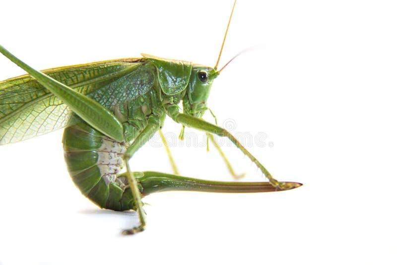 Grande cavalletta o locusta verde con il isolayrd della coda o della puntura su bianco immagine stock
