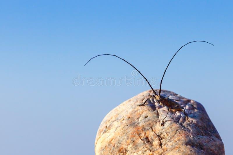 Grande cerdo de Cerambyx do besouro do capricorn que senta-se em uma rocha em azul foto de stock royalty free