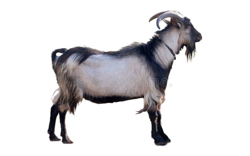 Grande chèvre grise image libre de droits