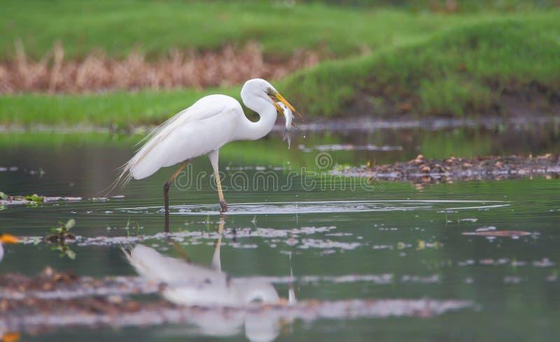 Grande chasse d'oiseau de héron des poissons image stock