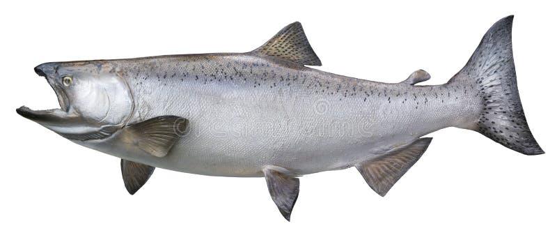Grande chinook o salmone reale isolato su bianco fotografia stock