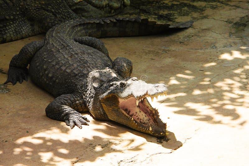 Grande coccodrillo che prende il sole al sole con il primo piano aperto della bocca immagini stock