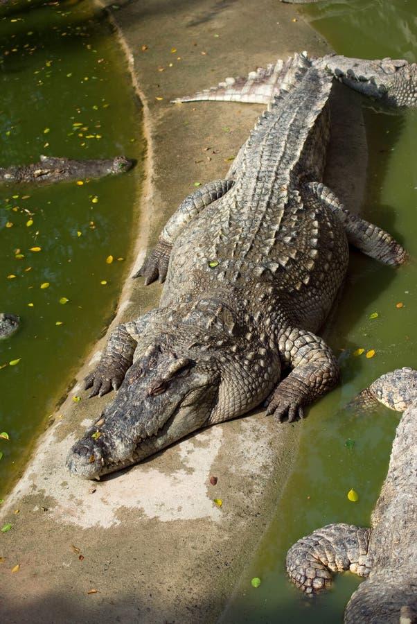 Grande coccodrillo che riposa al sole fotografia stock