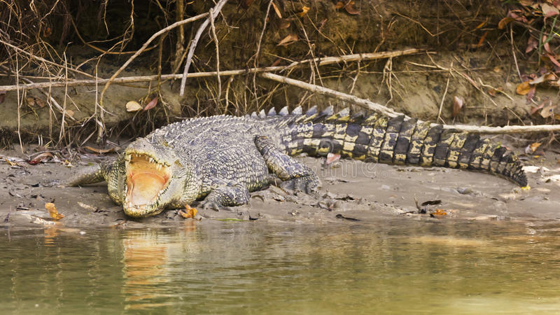 Grande coccodrillo dell'acqua salata immagine stock libera da diritti