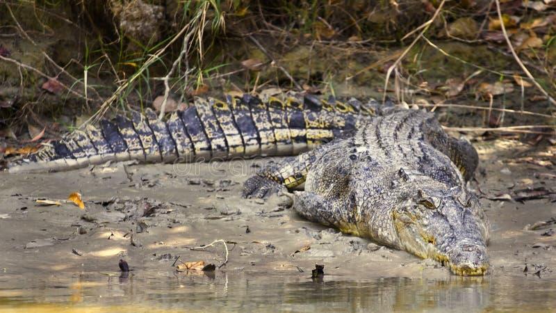 Grande coccodrillo dell'acqua salata fotografia stock