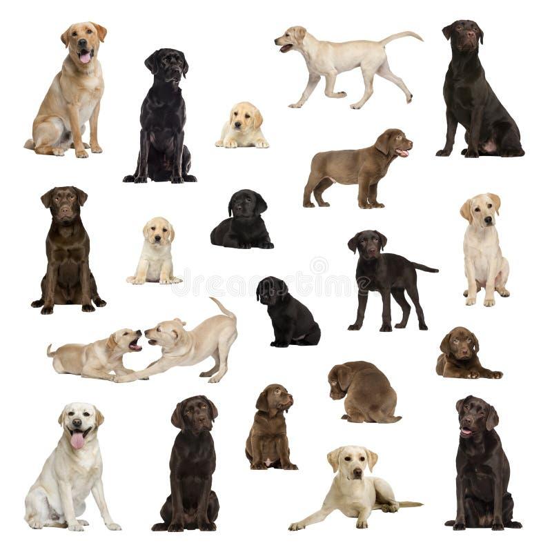 Grande coleção de Labrador, adulto, cachorrinho, posição diferente fotos de stock