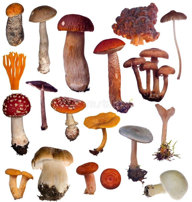 Grande coleção dos cogumelos isolada no branco imagem de stock