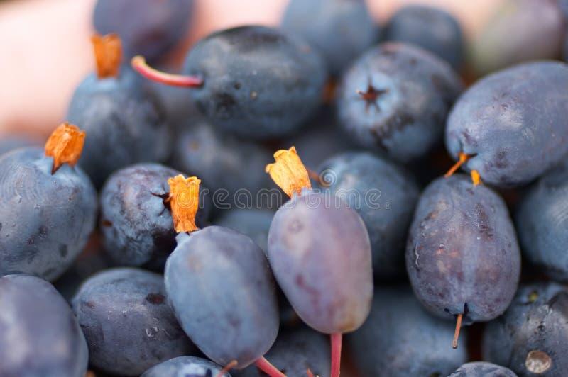 Grande colheita da uva-do-monte imagem de stock