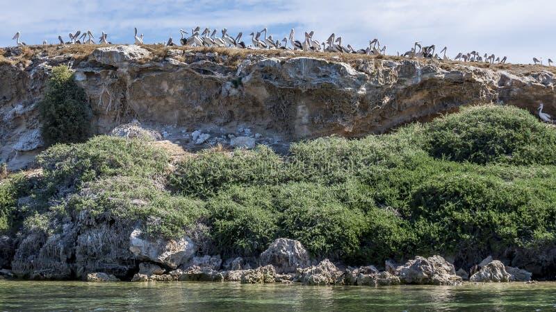 Grande colonia dei pellicani su una cima della scogliera sull'isola del pinguino, Rockingham, Australia occidentale immagini stock
