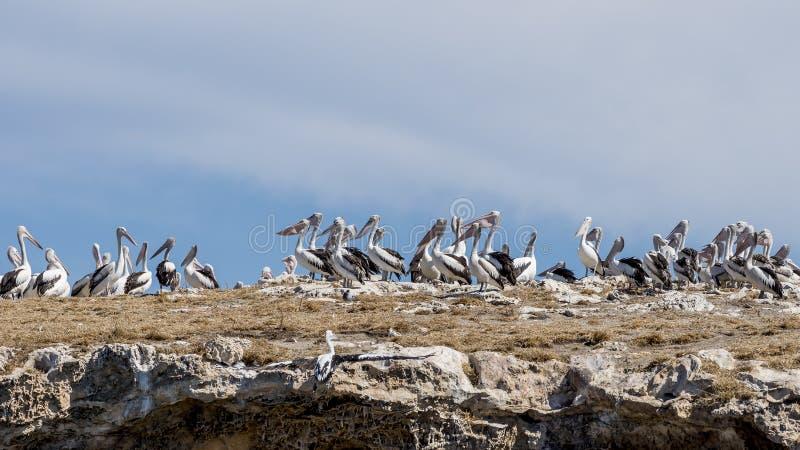 Grande colonia dei pellicani sull'isola del pinguino, Rockingham, Australia occidentale fotografie stock