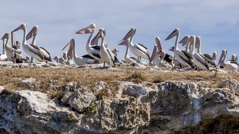 Grande colonia dei pellicani sull'isola del pinguino, Rockingham, Australia occidentale immagine stock libera da diritti
