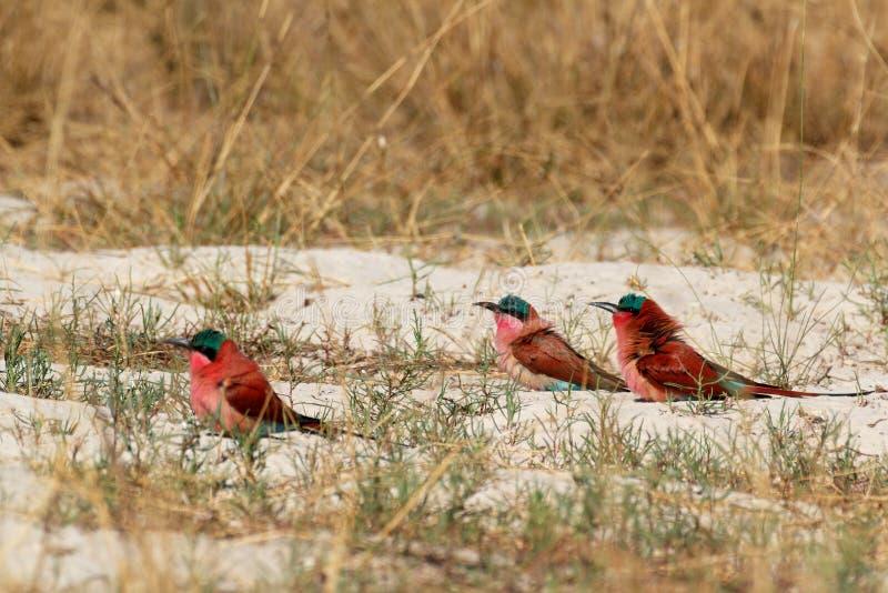 Grande colonie d'emboîtement d'Abeille-mangeur du nord de carmin photo libre de droits
