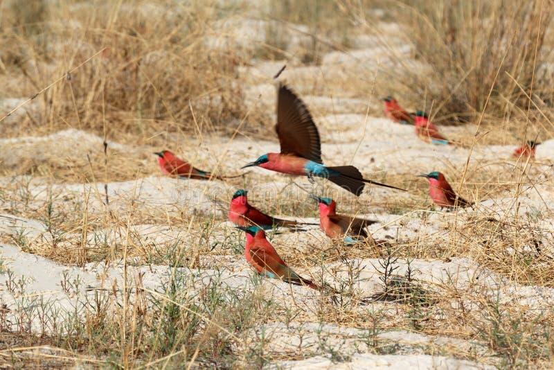 Grande colonie d'emboîtement d'Abeille-mangeur du nord de carmin photo stock