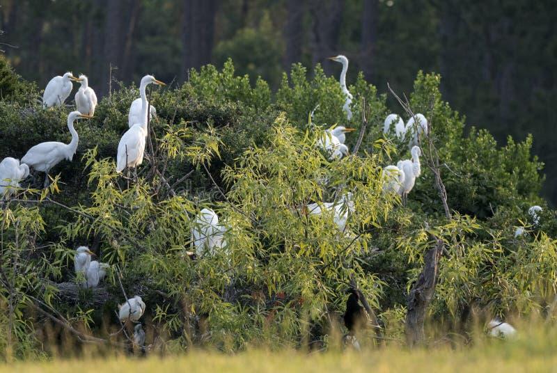 Grande colonie de freux de héron, réserve d'île de Pickney, la Caroline du Sud photo stock