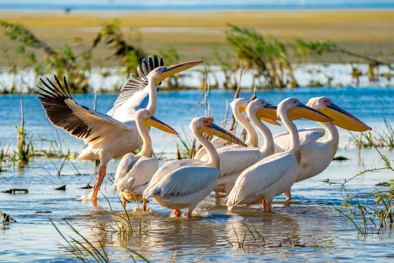 Grande colonie de pélican blanc aperçue dans le delta de Danube photos stock