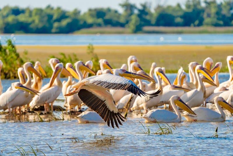 Grande colonie de pélican blanc aperçue dans le delta de Danube images libres de droits