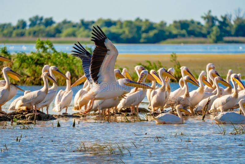 Grande colonie de pélican blanc aperçue dans le delta de Danube image libre de droits