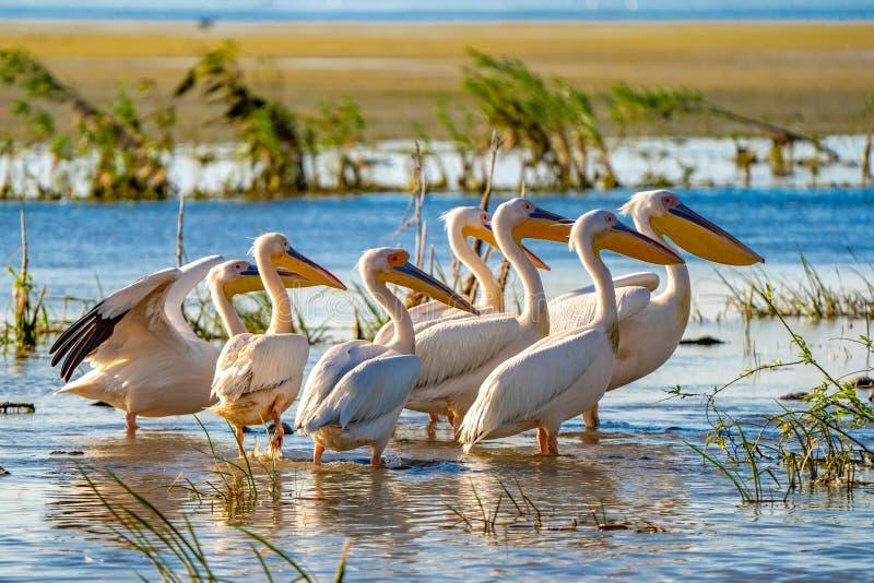 Grande colonie de pélican blanc aperçue dans le delta de Danube photos libres de droits