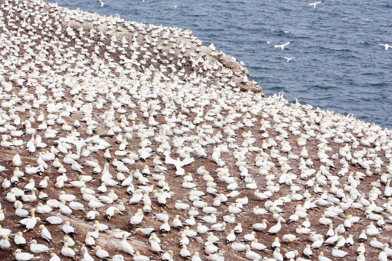 Grande colonie des fous de Bassan du nord en Bonaventure Island et x28 ; Quebec& x29 ; photographie stock