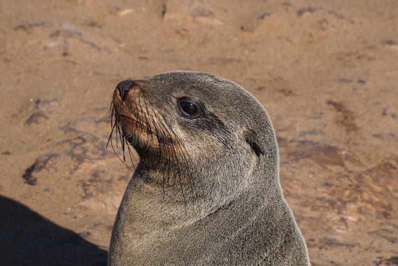 Grande colonie des joints de fourrure de cap ? la croix de cap en Namibie image libre de droits