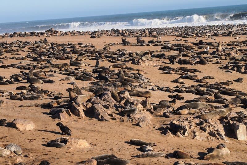 Grande colonie des joints de fourrure de cap ? la croix de cap en Namibie photographie stock libre de droits