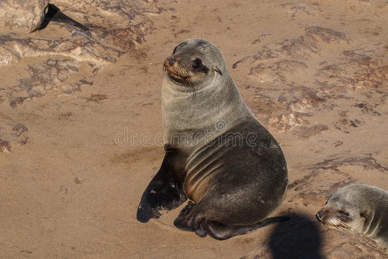 Grande colonie des joints de fourrure de cap ? la croix de cap en Namibie photos stock