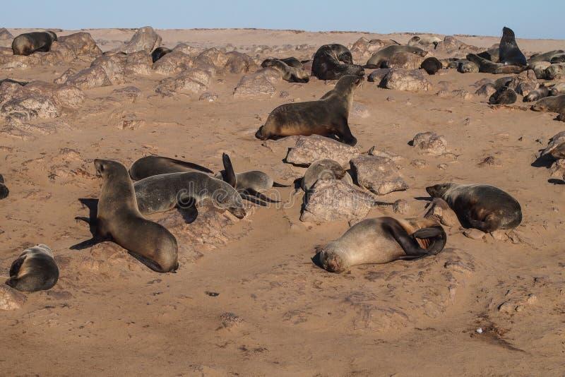 Grande colonie des joints de fourrure de cap ? la croix de cap en Namibie image stock