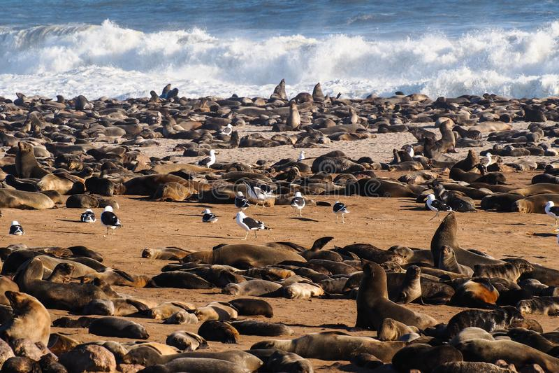 Grande colonie des joints de fourrure de cap ? la croix de cap en Namibie images libres de droits