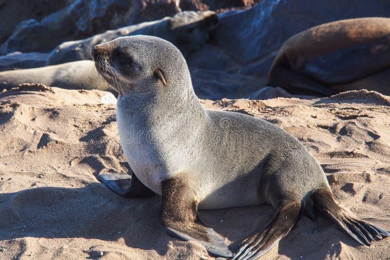 Grande colonie des joints de fourrure de cap ? la croix de cap en Namibie images stock